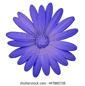 purple flower with clipping path isolated on white  background. garden flower calendula. Closeup.  water drops. Nature.