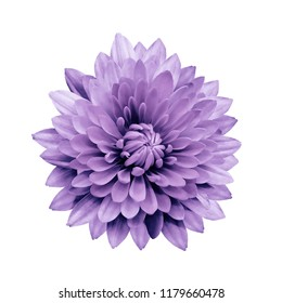 Purple flower dahlia  on a white isolated background with clipping path.   Closeup.  no shadows.  For design.  Nature.