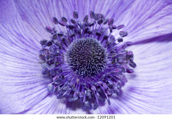 A purple flower displays its beautiful center bud with seedlings and pollen.