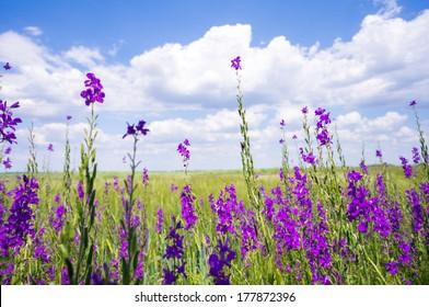 Purple flower field background under cloudy sky
