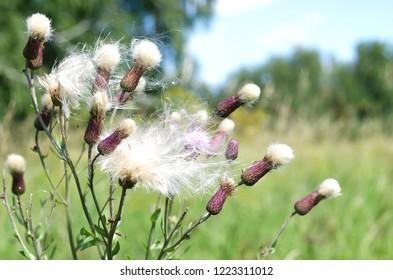 Purple Flower fluffy head on the summer field background.