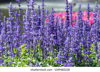 Purple flower and green leaf in garden at sunny summer or spring day for postcard beauty decoration and agriculture design. Blue Salvia flower.