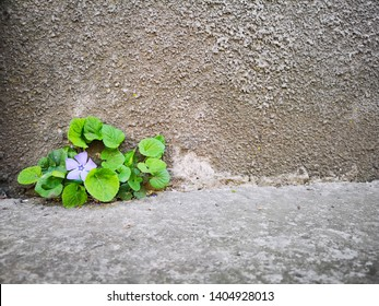 A purple flower grows through a gap in the concrete between the wall and the asphalt road.  Concept: growing through asphalt, cement, struggle for life, growth, movement, goal achievement, conservatio