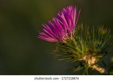 Purple flower head of purple milk thistle, boar thistle, Galactitis tomentosa, involucrum spine tipped, at dawn. Field, Malta, Mediterranean