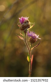 Purple flower heads of Greater Knapweed (Centaurea scabiosa) in a field in the morning sunlight, natural blurred backgroud, selective focus
