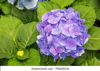 Purple flower hydrangea (Hydrangea macrophylla) in the garden. Mop head hydrangea flower.