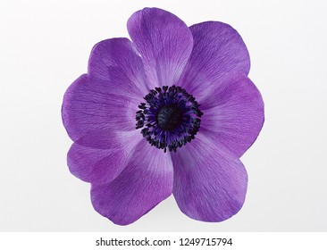 purple flower isolated on white background.