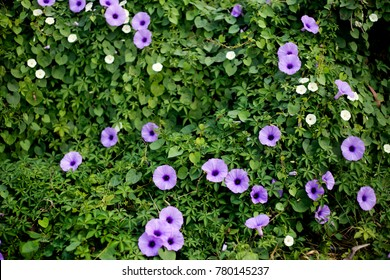 purple flower and ivy in garden for decoration