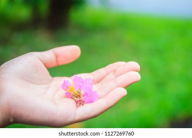 Purple flower (Lagerstroemia speciosa) on hand with green background. Lagerstroemia speciosa also known as giant crepe-myrtle, Queen's crepe-myrtle, banabá plant for Philippines, or pride of India.