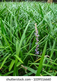 Purple flower of Liriope muscari, Lily Turf (Border Grass, Monkey Grass, Spider Grass, Liriope, Big Blue Lilyturf, Aztec Grass), in Liriope field. A ground cover plant or clumping plant.