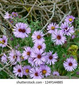 Purple Flower Michaelmas Aster