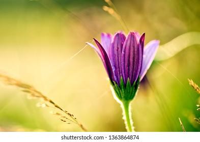 Purple Flower on Summer Meadow