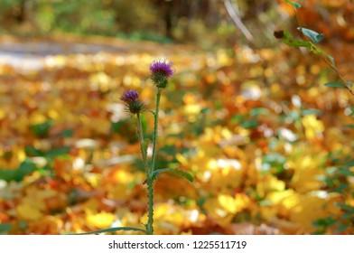 purple flower on yellow background, Thistle flower in autumn