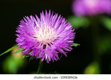 Purple flower of Persian cornflower (Centaurea dealbata)