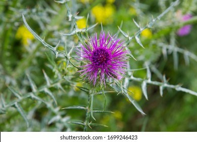 purple flower with pointy green leaves