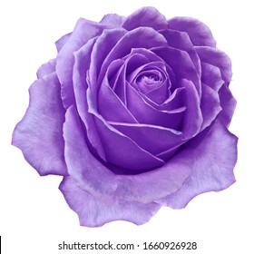 purple flower rose  on a white isolated background with clipping path.  no shadows. Closeup.  Nature.