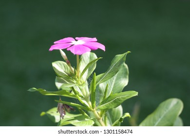 A purple flower of rose periwinkle