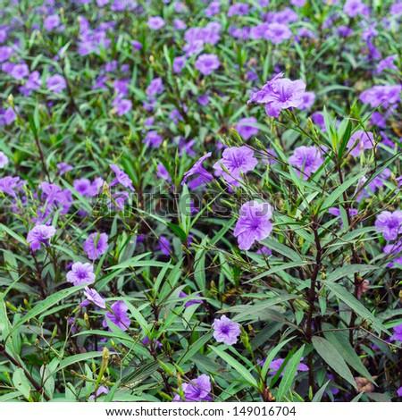 Purple flower ruellia genus flowering plants stock photo edit now purple flower ruellia is a genus of flowering plants mightylinksfo