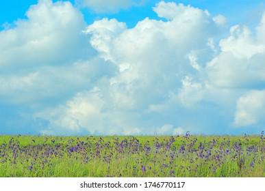purple flower Salvia nutans ( nodding sage) on a background of large cumulus clouds