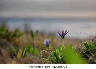 Purple flower in the sand dunes at the beach