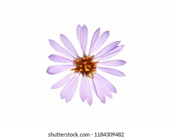 Purple flower of sea aster isolated on white, Tripolium pannonicum