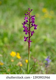 Purple flower spike of Anacamptis laxiflora wild flower. Aka Loose-flowered or Lax-flowered orchid. In wet, wildflower meadow. Defocussed background.