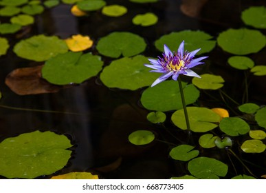 Purple flower surrounded by Lilly pads