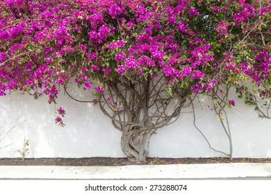 Purple flower tree against white wall