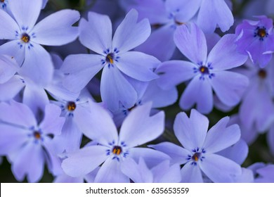 Purple flower (Vinca major). Also known as bigleaf periwinkle, large periwinkle, greater periwinkle and blue periwinkle.