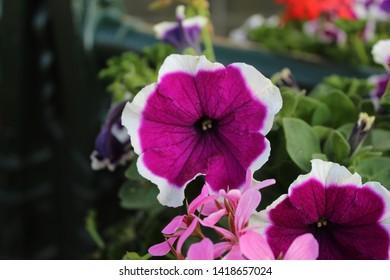 Purple flower with white border in flower pot