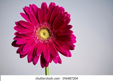 A purple flower with a yellow center against a white background.