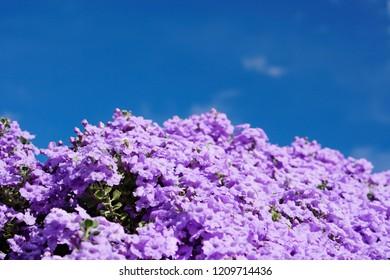 Purple Flowering Bush on a Blue Sky. Spring background.