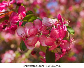Purple Flowering Crabapple flowers, close up. Crab Apple Rudolph or Malus Rudolph tree, with dark pink blossoms in the blurred bokeh background. Early spring. Abstract floral pattern design, backdrop.