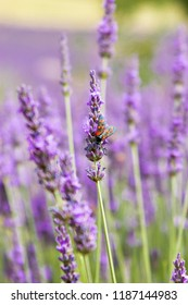 Purple flowering lavender with a beetle on the flower