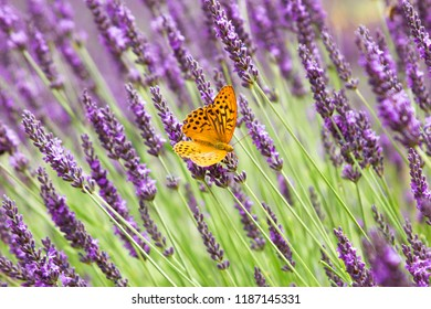 Purple flowering lavender with an orange butterfly