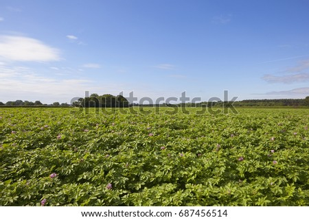 Purple Flowering Potato Crop Trees Woodland Stock Photo Edit Now