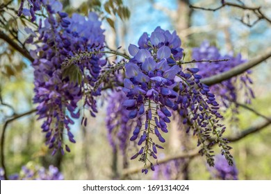 A purple flowering wisteria vine hanging from a tree branch just starting to bloom in early spring on a bright sunny day