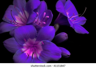 Purple flowers against a black background