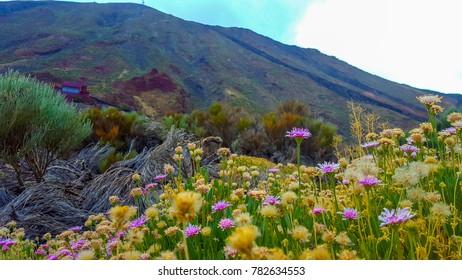 Purple flowers among wildlife. Mountain on the background. Tenerife, volcano Teide.