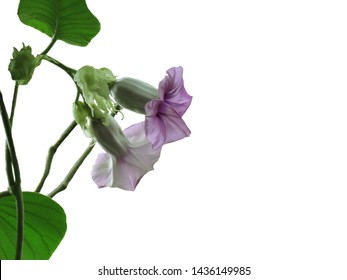 Purple flowers of Baby Rose, Elephant Climber, Elephant Creeper or Silver Morning Glory, Beautiful bloom on branches and hanging down isolate on white background
