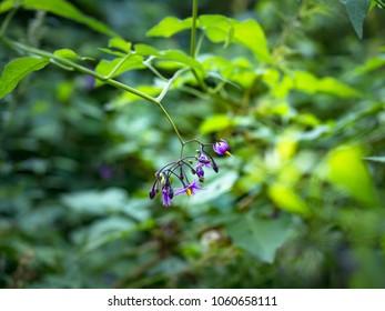 Purple flowers of bittersweet, bittersweet nightshade, bitter nightshade or blue bindweed (Solanum dulcamara)