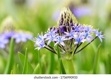 春に咲く紫の花