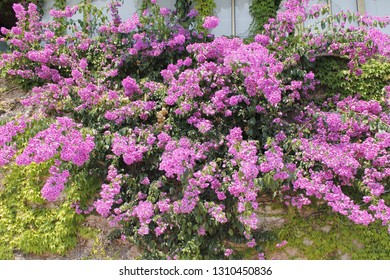 Purple flowers of bougainvillea in Italy.