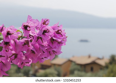 Purple flowers of bougainvillea in Italy. Blooming bougainvillea.Bougainvillea flowers as a background.Floral background