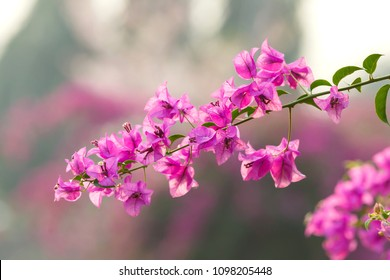 purple flowers of bougainvillea tree/close-up, macro, view,blur background Bougainvillea flowers texture and background.