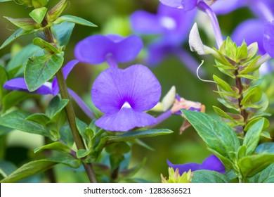 Purple flowers of Brazilian Snapdragon growing in Asia (Otacanthus caeruleus)