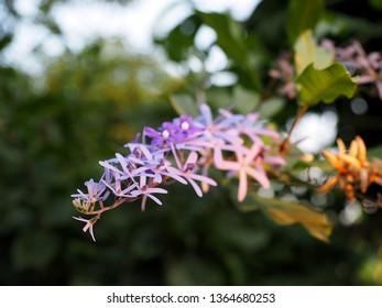 purple flowers calls Petrea volubilis