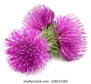 Purple flowers of carduus with green bud isolated on a white background.