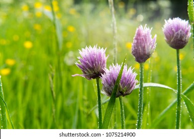 Purple flowers of a chive on a green grass background. Allium schoenoprasum flowers closeup. Blurred background.