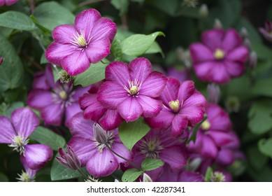 Purple flowers of clematis